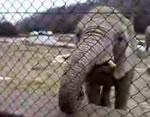 げっぷする象