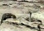 マングース対コブラ