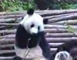 くしゃみ連発のパンダ