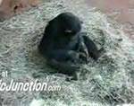 チンパンジーのアソコを銜えるカエル