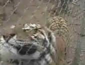トラを撮影する時にはちゅういしましょう!
