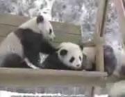 雪の中で遊ぶ子パンダ