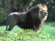 ライオン VS ホワイトタイガー