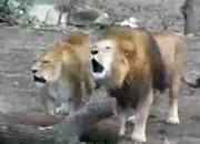 ライオンのコーラス