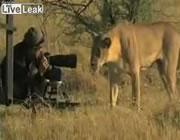 カメラマンを囲うライオン