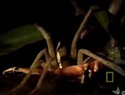 カエルを食べるクモ