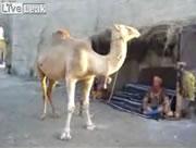 ラクダのダンス