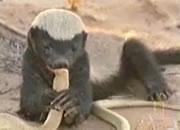 コブラを食するラーテル