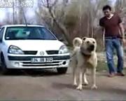 車を牽引するワンちゃん