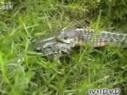 蛇に呑み込まれるも助かるカエル