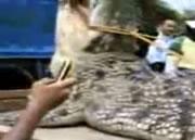 インドネシアで捕らえられた巨大アリゲーター