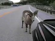 車を追いかける羊