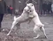 闘犬 オス vs メス