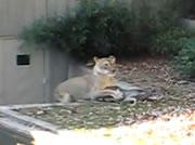 動物園で子鹿を襲うライオン