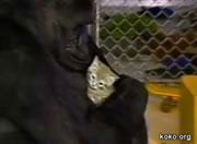 可愛がってたネコがいなくなって悲しむゴリラのココ