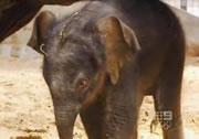 象の出産シーン