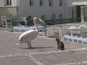 ペリカン VS ネコ