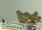 小鳥のギター演奏