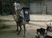 飼育係を襲うトナカイ