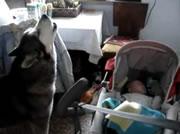 赤ちゃんを泣き止ませるワンちゃん
