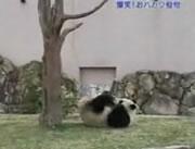 木の枝にブチ切れるパンダ