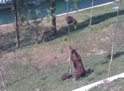 木に登った小熊を下ろそうとする母熊