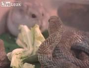 ハムスターの友達はヘビ