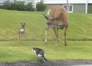 犬とネコを襲う親鹿