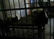 檻から抜け出るパンダ