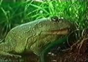 ヘビを呑み込むカエル