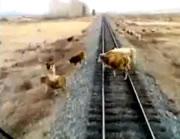 列車に轢かれる牛達