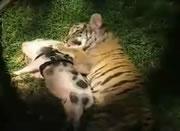 仲良しなトラの赤ちゃんとブタの赤ちゃん