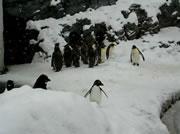 はしゃぎ回るペンギン