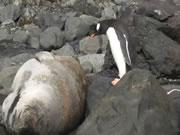 寝てるアザラシのお腹にジャンプするペンギン