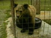 上手に栓を開けてドリンクを飲むクマ