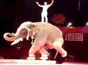 片足で立って回転する象ショー