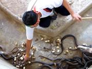 コブラも恐れる清掃員