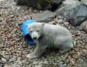 バケツで遊ぶ可愛い小熊