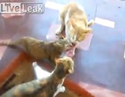 3匹のネコと肉
