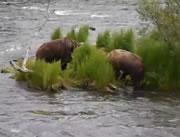 クマ同士で魚の取り合いで喧嘩