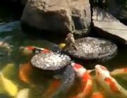 鯉に餌を与えるのは・・・