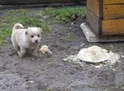 アヒルをエサに近づかせない子犬