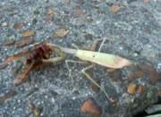 カマキリを食べるハチ