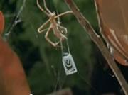 メダマグモ 虫の捕まえ方がすごい