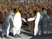 可愛いキングペンギンの喧嘩