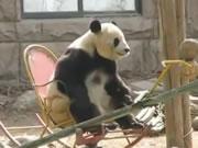ロッキングチェアがお気に入りのパンダ