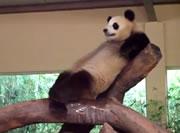 木の上でリラックスするパンダ