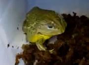 ネズミを丸呑みするカエル