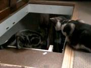 階段を下りようとするネコを後押し