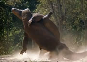 コモドドラゴンの喧嘩